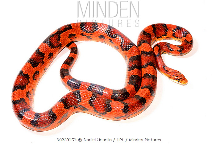 Corn snake (Pantherophis guttatus), Okeetee breed, on white background, captive, occurs in North America.