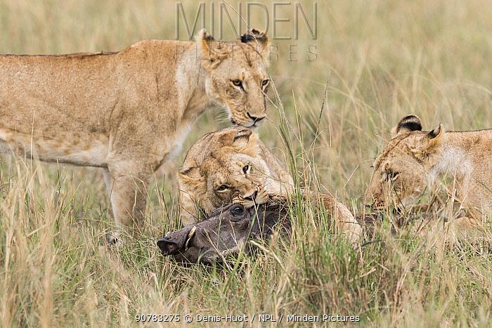 Lion (Panthera leo)  lionesses killing a warthog, Masai-Mara Game Reserve, Kenya