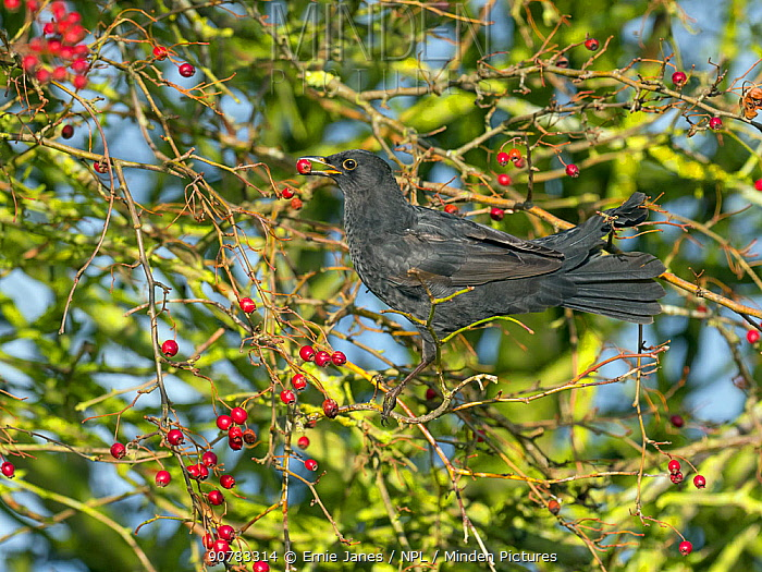 Blackbird (Turdus merula) male feeding on berries in Hawthorn (Crataegus monogyna) hedge, Norfolk, England, UK, November.