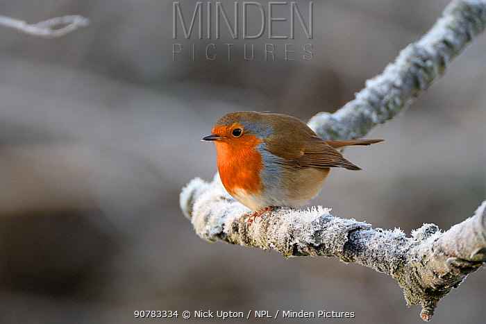European robin (Erithacus rubecula) perched on a hoar frosted branch on a cold winter morning, Gloucestershire, UK, December.