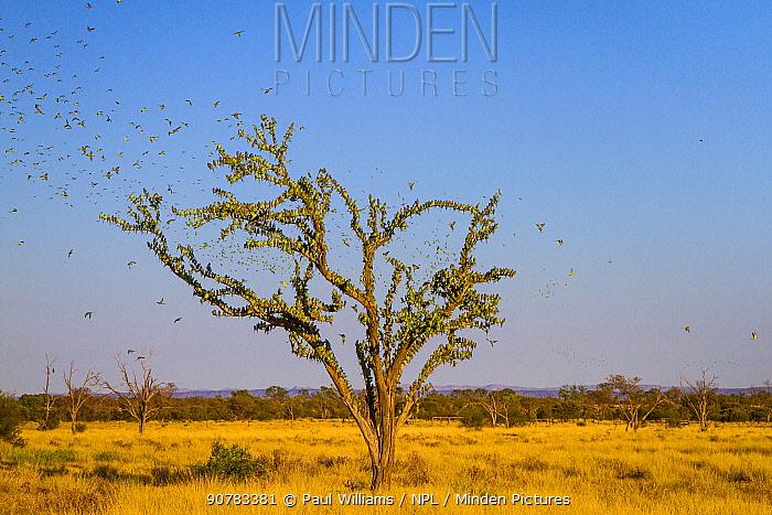 Budgerigars (Melopsittacus undulatus) flocking to find water, Northern Territory, Australia