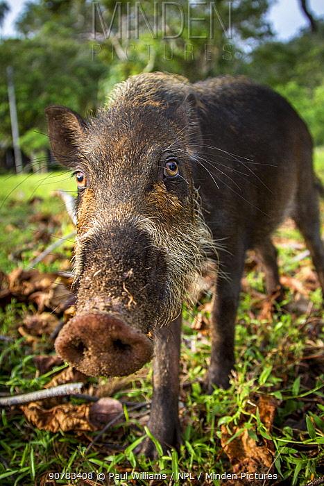 Bearded Pig (Sus barbatus) portrait, Borneo
