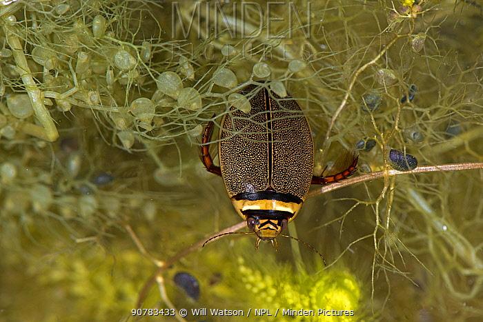 Diving beetle (Graphoderus cinereus) among Bladderwort (Utricularia sp.), captive, Belgium