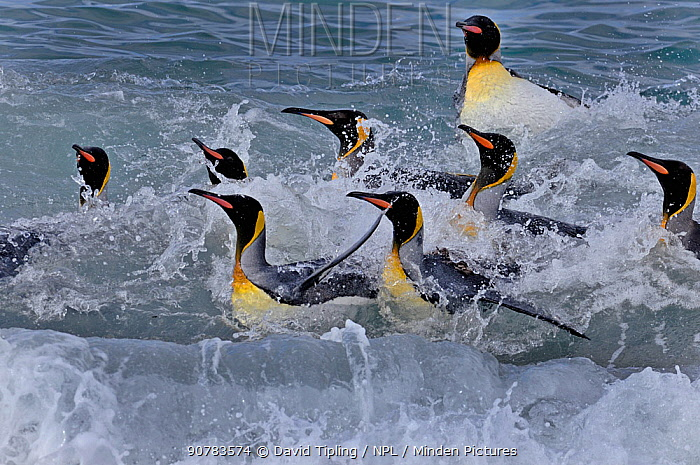 King Penguins (Aptenodytes patagonicus) bathing in surf,  St Andrews Bay, South Georgia, November