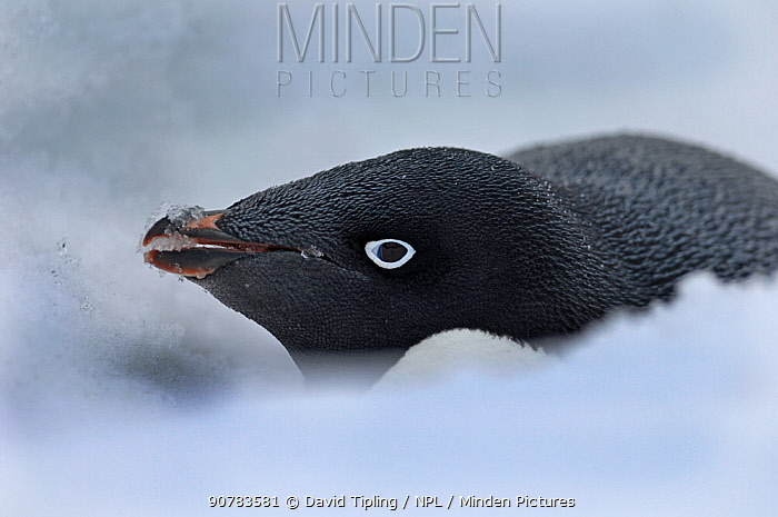 Adelie Penguin (Pygoscelis adeliae) incubating on nest in snow, Brown Bluff, Antarctic Peninsula, November
