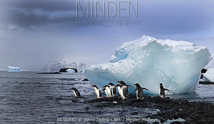 Gentoo Penguins (Pygoscelis papua) about to enter the sea, Brown Bluff Antarctic Peninsula, Antarctica, November