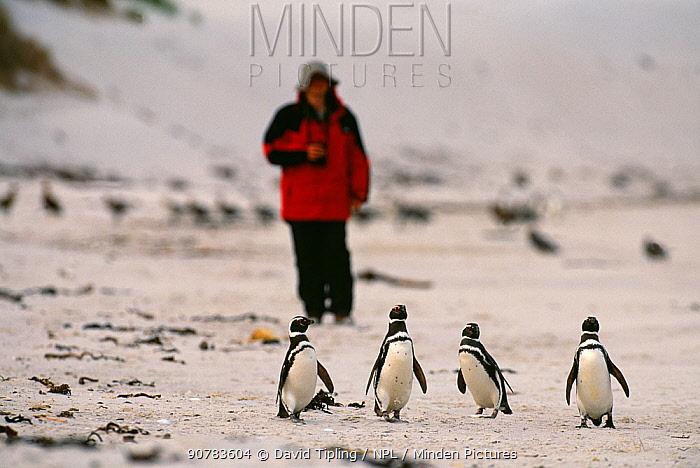 Tourist watching Magellanic Penguins (Spheniscus magellianicus) on beach, Carcass Island, Falklands