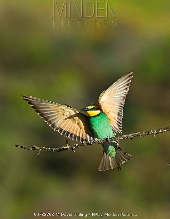 Bee-eater (Merops apiaster) with wings stretched, Spanish Steppes, Spain, May