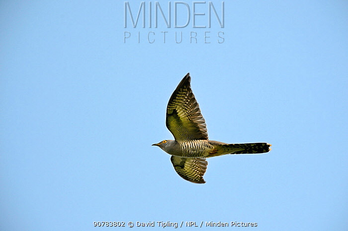 Common Cuckoo (Cuculus canorus) male in flight, Norfolk