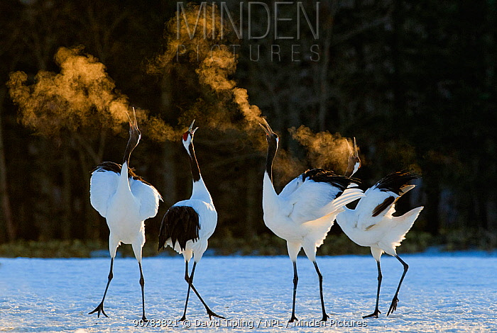 Red-crowned Cranes (Grus japonensis) displaying at dawn Hokkaido, Japan, February. Did you know? Red crowned cranes mate for life.