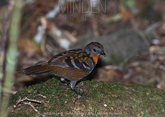 Logrunner (Orthonyx temmincki) female, Lamington NP, Queensland, Australia