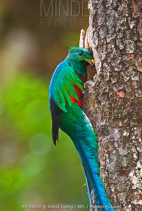 Resplendent Quetzal (Pharomachrus mocinno) male bringing food to nest, Central Highlands, Costa Rica