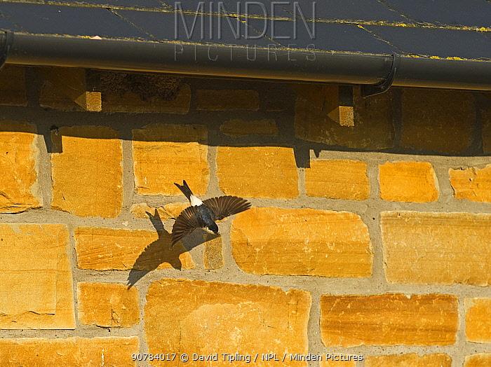House Martin (Delichon urbicum) leaving nest under eaves of house, Northumberland, UK, July