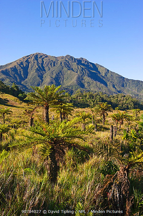 Alpine grassland and Cycads at 9000 ft, Tari Gap,  Southern Highlands, Papua New Guinea, August 2011
