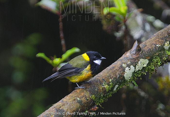 Regent Whistler (Pachycephala schlegelli) male, Western Highlands, Papua New Guinea