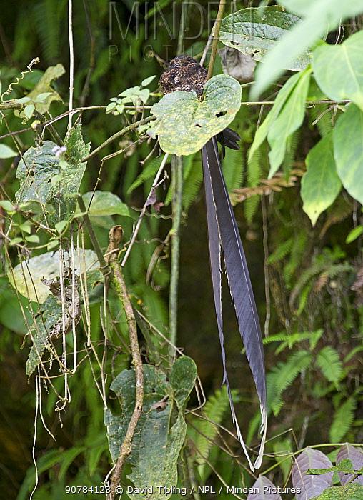 Swallow-tailed Nightjar (Uropsalis segmentata) male roosting during day, Ecuador