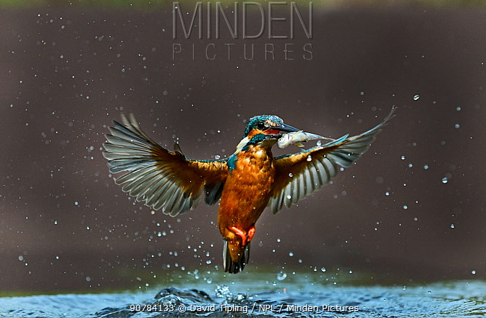 Common Kingfisher (Alcedo atthis) with minnow, Worcestershire, August