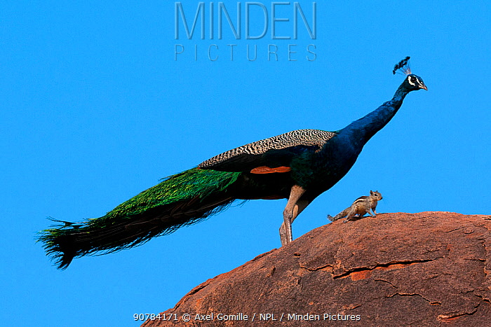 Peacock (Pavo cristatus) on rock with Palm Squirrel (Funambulus sp) India.
