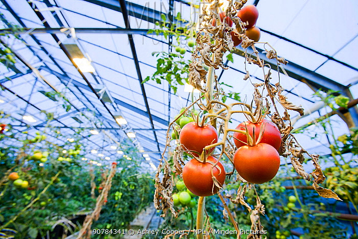 Tomatoes growing in greenhouse powered by geothermal heat, Hveragerdi , South West Iceland.