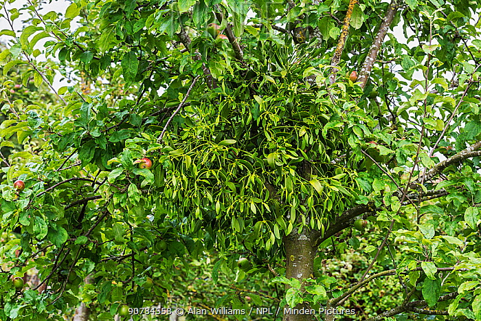 Mistletoe (Viscum album) growing on Apple tree (Malus domestica) in orchard Cheshire, England, UK, August.