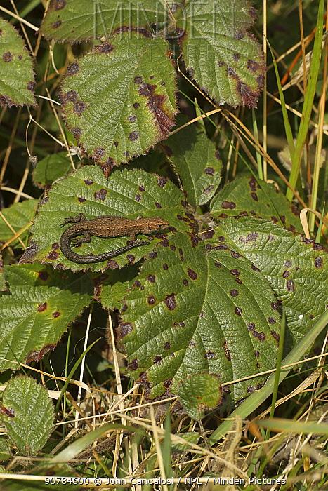 Common lizard (Lacerta vivipara), basking, Herefordshire, England, UK