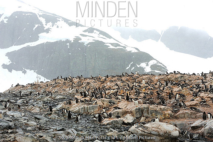 Gentoo pengiuins (Pygoscelis papua)  colony in a snowstorm. Hydrurga Rocks. Antarctic Peninsula. January.