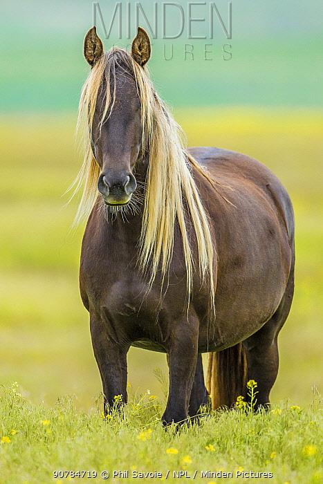 Rocky mountain horse, Bozeman, Montana, USA. June.
