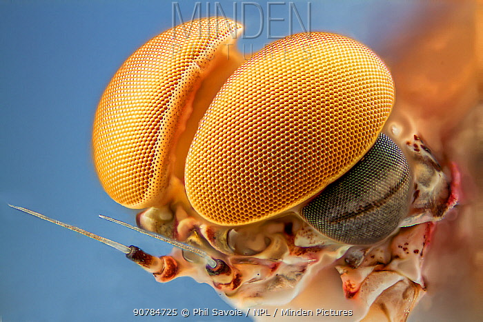 Pink lady mayfly (Epeorus albertae) close up of eye of male, Madison River, Montana, USA, August.