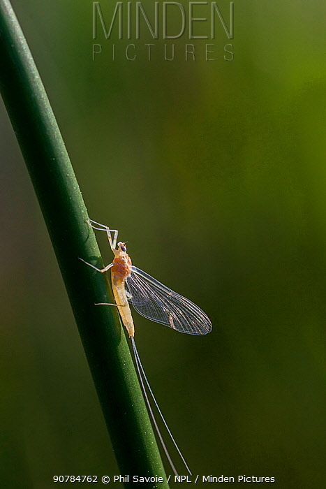 Morning dun mayfly (Ephemerella excrucians) Bozeman, Montana, USA.
