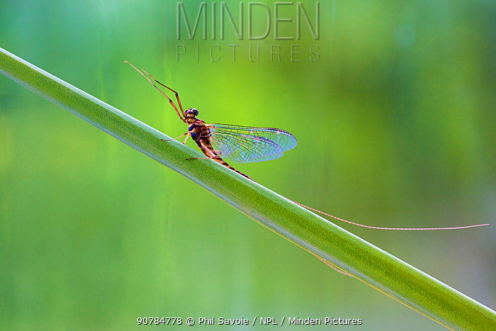 Summer mayfly (Siphlonurus lacustris) male, River Usk, Wales, UK, March.