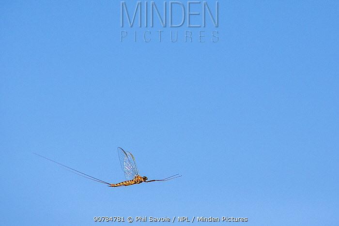 Summer mayfly (Siphlonurus lacustris) in flight, River Usk, Wales, UK, May.