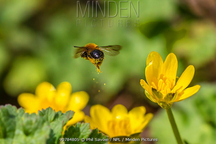 Mining bee (Andrena bicolor) leaving behind a golden pollen trail mid-air. Lesser Celandine (Ranunculus ficaria) Monmouthshire, Wales, UK, March.