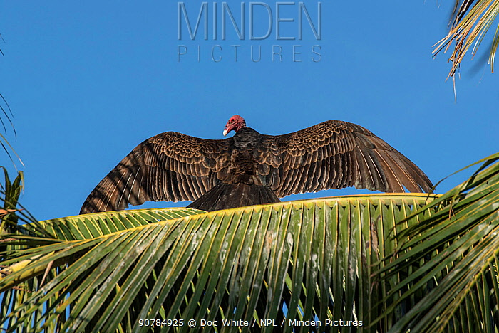 Turkey vulture (Cathartes aura) perched on palm frond with wings outstretched,  Baja California, Mexico