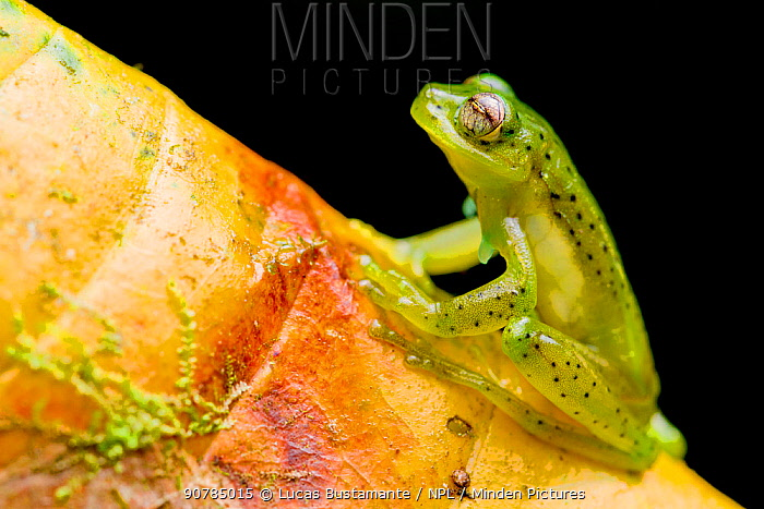 Emerald glass frog (Espadarana prosoblepon) portrait, sitting on leaf, Buenaventura Reserve, Pinas, El Oro, Ecuador.