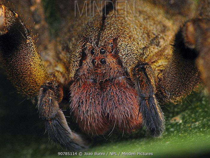 Brazilian wandering spider (Phoneutria nigriventer). South-east Atlantic forest, Piedade, Sao Paulo, Brazil.