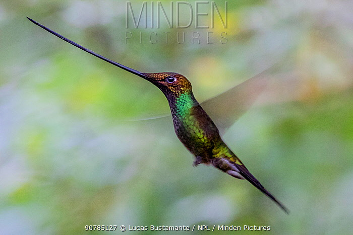 Sword billed hummingbird (Ensifera ensifera) in flight, Guango, Napo, Ecuador.