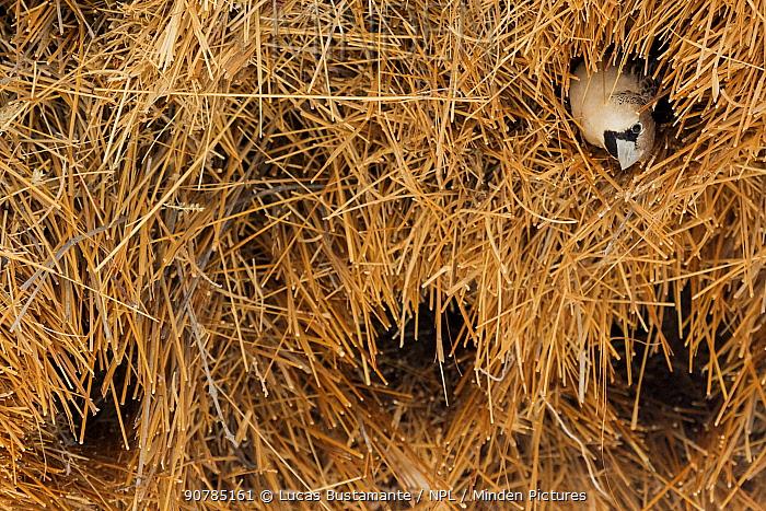 Sociable weaver (Philetairus socius) looking out of nest hole, Etosha National Park, Harare Province, Namibia.