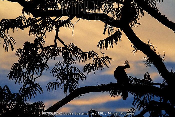 Hoatzin (Opisthocomus hoazin) perched in tree, silhouetted at dusk, Cuyabeno, Sucumbios, Ecuador.