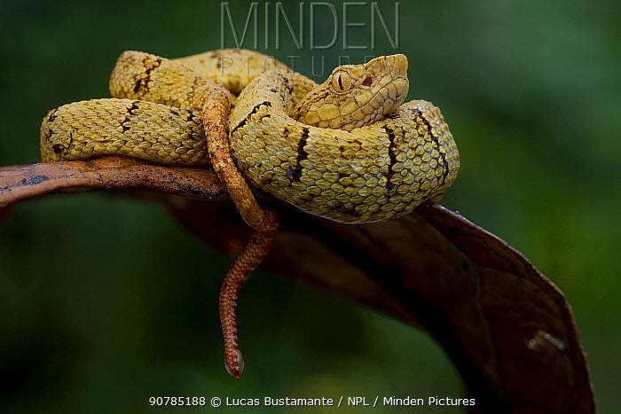 Osborne's lancehead (Bothrops osbornei) juvenile curled up, Mashpi, Pichincha, Ecuador.