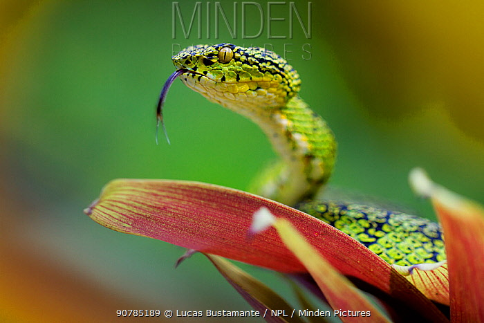 Eyelash palm pit viper (Bothriechis schlegelii) with tongue extended, Mindo, Pichincha, Ecuador.