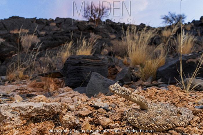 Horned adder (Bitis caudalis) curled up, Swakopmund, Erongo, Namibia.