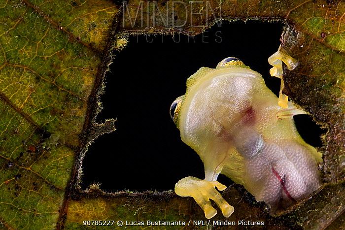 Reticulated glass frog (Hyalinobatrachium valerioi) viewed through hole in leaf seeing internal organs through its transparent skin, Canande, Esmeraldas, Ecuador.