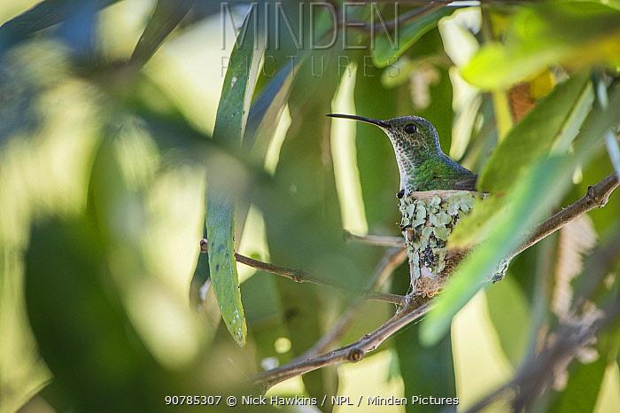 Mangrove hummingbird (Amazilia boucardi) female siting on nest, Pacific coast mangroves area, Costa Rica, Endangered species.