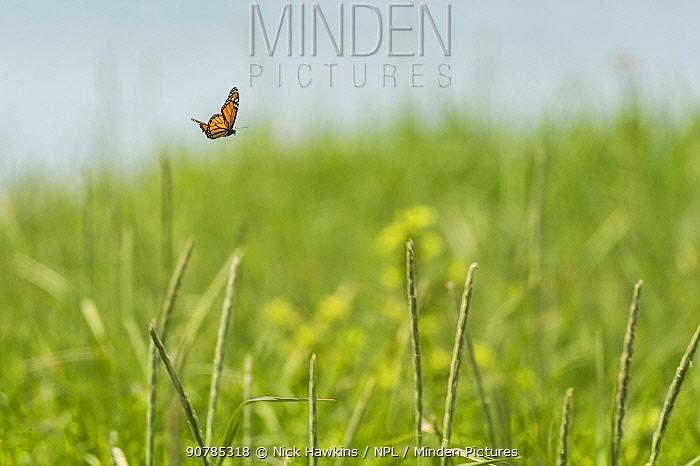 Monarch butterfly (Danaus plexippus) male, migrating North, Anchorage Provincial Park, Grand Manan Island, New Brunswick, Canada, June.