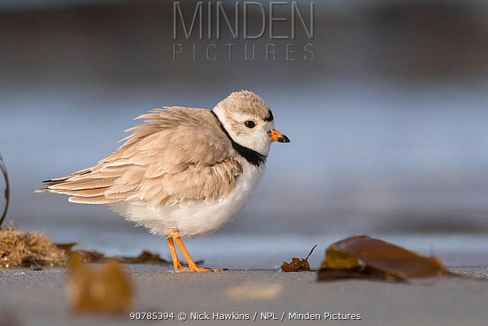 Piping plover (Charadrius melodus) profile on beach, Nova Scotia, Canada, May.