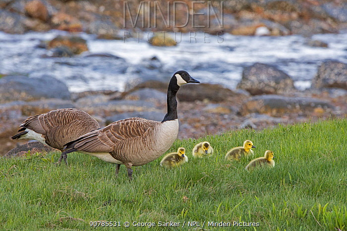 Canada goose (Branta canadensis) parents with young chicks, along an ocean inlet. Acadia National Park, Maine, USA. May.