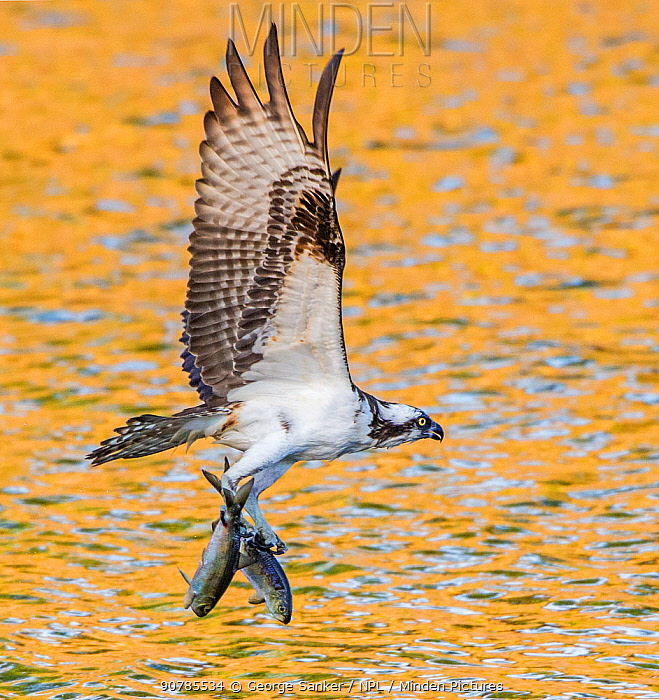 Osprey (Pandion haliaetus) with two Alewife (Alosa pseudoharengus) just caught in the Atlantic Ocean. Acadia National Park, Maine, USA. June.