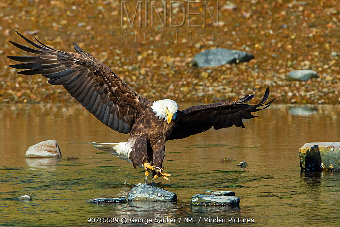 Bald eagle (Haliaeetus leucocephalus) about to catch an Alewife (Alosa pseudoharengus) in Somes Sound, Acadia National Park, Maine, USA. June.