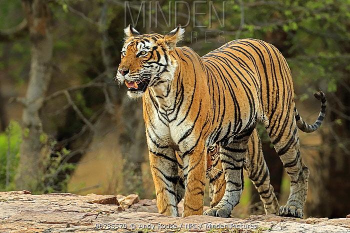 Bengal tiger (Panthera tigris) female 'Leila' with shy cub, Ranthambhore, India, Endangered species.