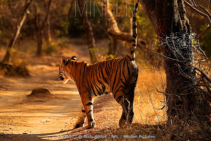 Bengal tiger (Panthera tigris) female 'Noor' scent marking, Ranthambhore, India, Endangered species.